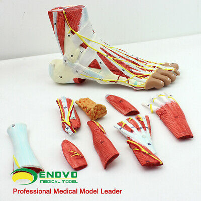 Muscles Of Foot With Main Vessels And Nerves Human Body Muscle Anatomical Model