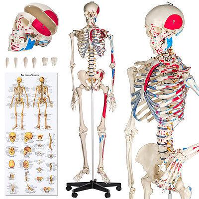 Menschliches Stativ Skelett Modell Anatomie Lehrmodell Poster + Abdeckung 180cm