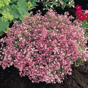 Gypsophila 39 baby 39 s breath 39 pink ripens rose ground cover for Perennial ground cover with pink flowers
