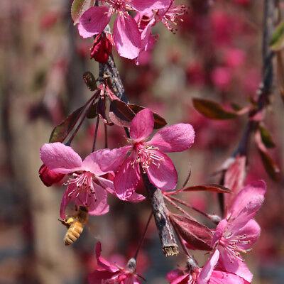 Malus Royal Beauty | Purple Weeping Crab Apple | Ornamental Garden Tree | 5-6ft