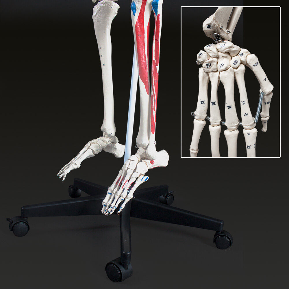 MENSCHLICHES SKELETT ANATOMIE Lehrmodell+ Muskel+Knochen Bemalung ...