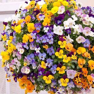 40  Trailing Viola Winter Flowering F1   Mixed Bedding Patio Plug plants