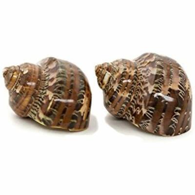 """Hermit Crab Home Turbo Shell Brown Petholatus Polished Shells 2 2-2.5"""" Plus Free"""