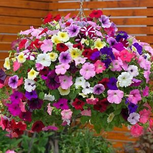 Fairy Flower Seed Petunia Pendula Mixed seed approx x200 Bedding, Basket Plant