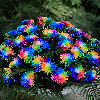 100 Rainbow Chrysanthemum Flower Seeds,rare Special Unique unusual - Rainbow Flower
