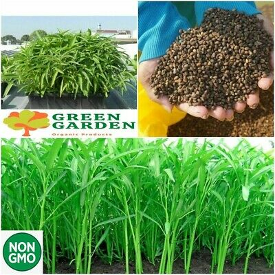 2000+ seeds Water Morning Glory Water Spinach Ong Choy Rau muong Convolvulus