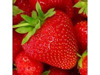 strawberry plants cambridge favourite in 9cm pots