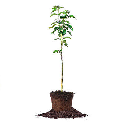 Carnes Pear Tree  Live Plant  Size  3 4 Ft
