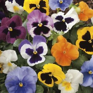 6 x WINTER FLOWERING PANSY PLANTS