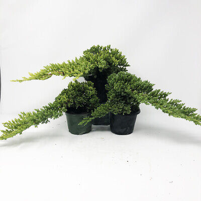 7318 Best R Bonsai Images On Pholder When You See Nigel Saunders Of Kw Bonsai Posted A 39 08 Long Part 3 Of Bonsai Work In The Plant Room And It Is 12 00am