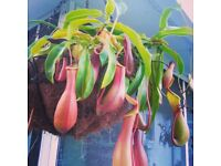 pitcher plant wanted