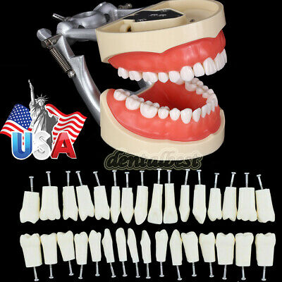 Kilgore Nissin 200 Type Dental Typodont Model With Removable Teeth Usps