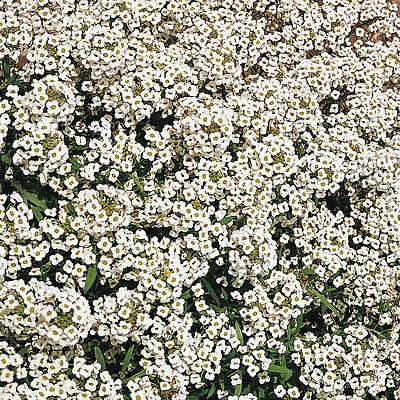 Alyssum Carpet of Snow 1700 Seeds Hardy