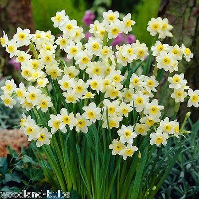 50 Daffodils Bulbs Narcissi 'MINNOW' Spring Flowering Narcissus Bulbs Plants