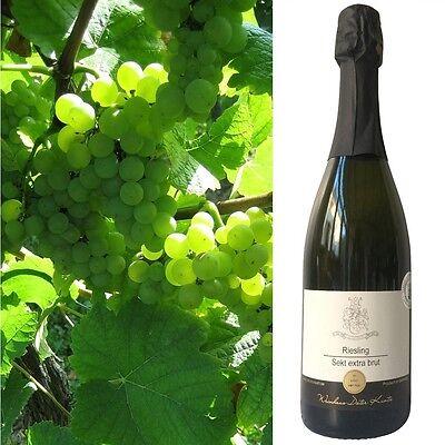 Sekt Riesling extra brut Pfalz 3 Flaschen vom Weinhaus Kuntz