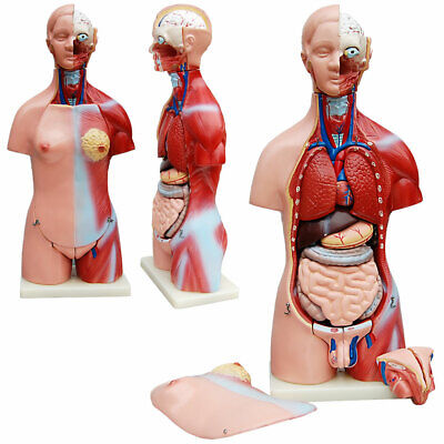 Männlichen Teil (Torso männlich und weiblich, 23 Teile, 45cm Anatomie Modell)