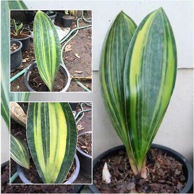 Sansevieria masoniana Chahin Variegated masonii variegated 1 Root Plant 12''