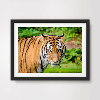 Rainforest Animal Pictures - TIGER RAINFOREST ANIMAL WILDLIFE PHOTOGRAPHY ART PRINT Poster Wall Picture