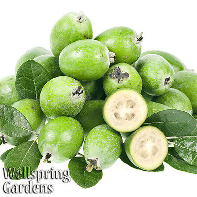 Pineapple Guava Feijoa - Acca sellowiana Live ...