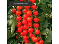 Tomato Plants in Large Pots - Single £3.50 (2x Deal for £6)