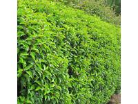 Portuguese Laurel Hedging Plants