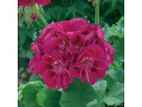 Geranium Burgundy