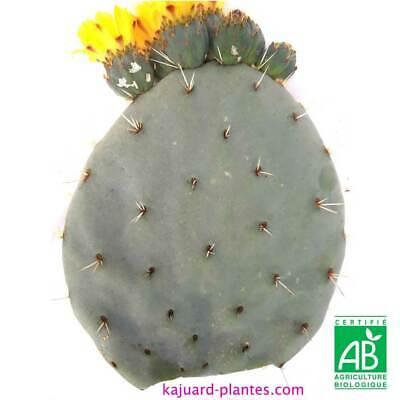 Opuntia robusta bellen , bouture , cactus succulentes caudex cactées nopal plant