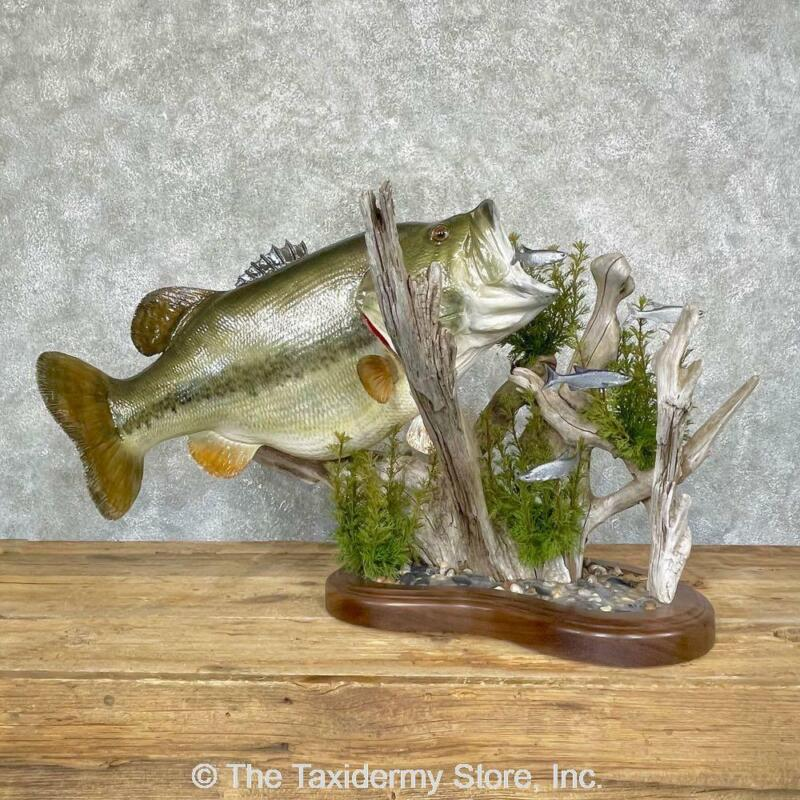 """#24688 WC   28"""" Largemouth Bass Freshwater Taxidermy Fish Mount For Sale"""