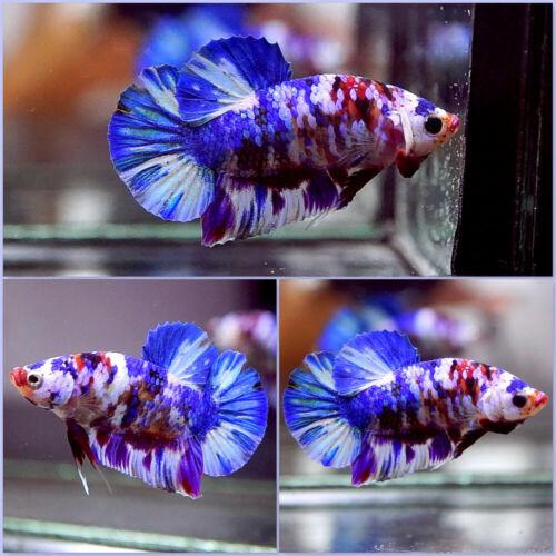 Live Betta Fish Fancy MULTI COLOR KOI Halfmoon Plakat HMPK Male #A255