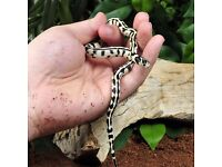 California King Snake with Full Setup- Can Deliver