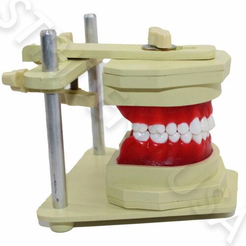 Orthodontic Typodont for Study Adjustable