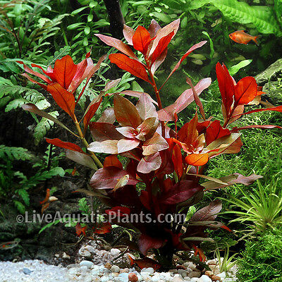 Ludwigia Repens Red Fresh Live Aquarium Plants Bunch Freshwater Buy2get1free