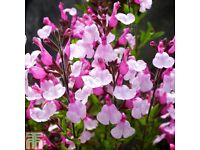 Salvia Dyson's Joy Pink beautiful flower 15 seeds £3 delivered 2nd class