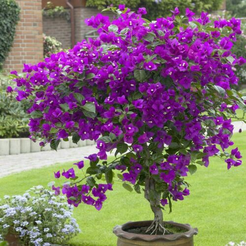 Well Rooted **VIOLET** Bougainvillea starter/plug plant*