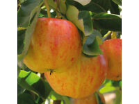 Royal Gala Apple tree Malus domestica Fruit tree seedling edible UK hardy