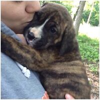 """ROXER"" retriever/boxer cross puppy for sale!"