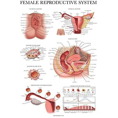 Laminated Female Reproductive System Anatomical Chart - Anatomy Poster 18quot X