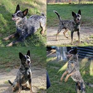 Cattle dog for sale Goodna Ipswich City Preview
