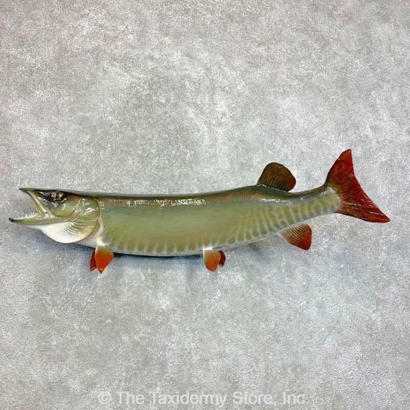 #22117 E+   Muskellunge Freshwater Taxidermy Fish Mount <> Musky Muskie