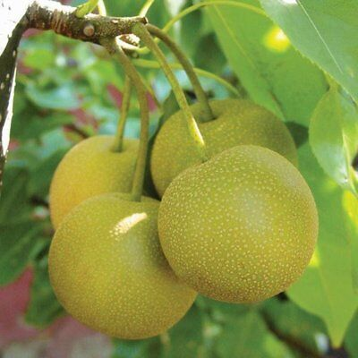Dwarf Asian Pear Tree Hosui Flowering Fruit Trees   1 Ft Sale Today Only