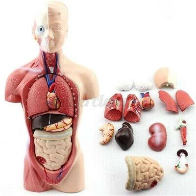 11 Human Body Organ Model Torso Anatomy Doll Removable Skeleton Visceral Study