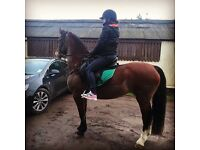 Section d mare 15 hh 5year old
