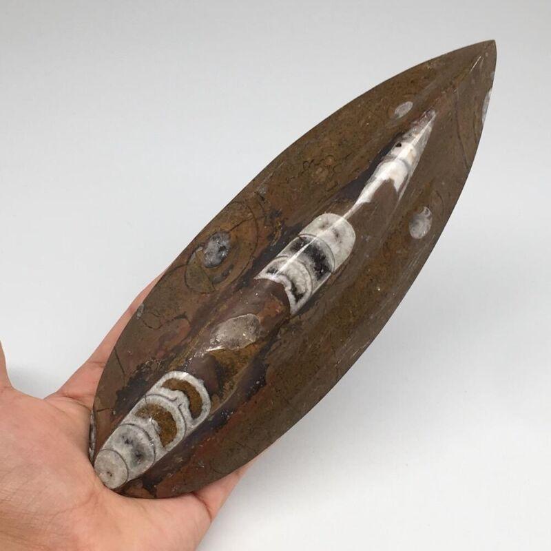 "459.8g, 8.25""x2.9""x1.2"" Fossils Orthoceras (straight horn) SQUID @ Morocco,MF242"