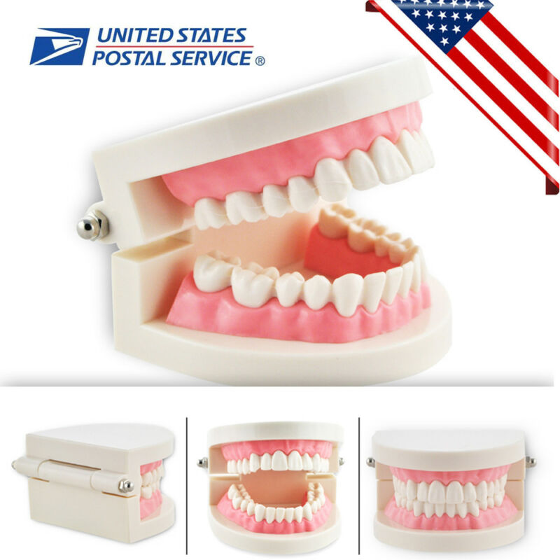 *US Sale* Teaching Typodont Model Large With Removable Teeth Colgate For Student