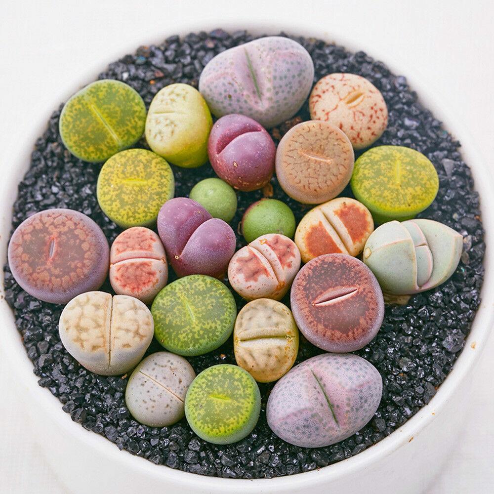 100 Rare Mix Lithops Samen Wohn Stones saftigen  Bulk Green  Neu