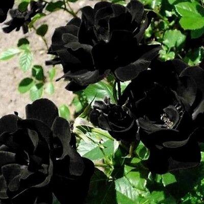 Us Seller 50 Black Rose Rosa Bush Shrub Perennial Flower Seeds