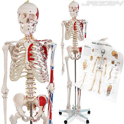 Anatomie Modell menschliches Skelett stativ Lehrmodell Muskeln Poster Abdeckung