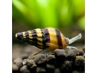 FREE ASSASSIN SNAILS - tropical