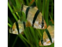 TIGER BARBS - Tropical fish for sale