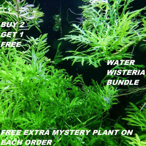 Hygrophila Difformis Bunch Water Wisteria Live Aquarium Plants BUY2GET1FREE
